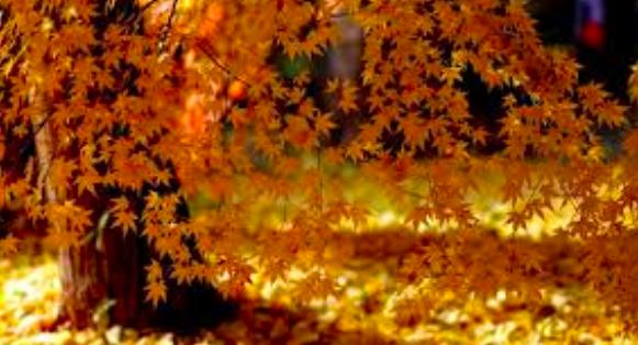 drzewa liście kasztany
