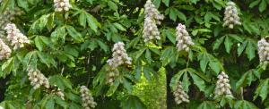kasztanowce i liście